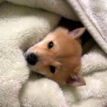 お布団で寝る柴犬の寝顔がカワイイ♪