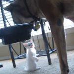 退役した軍用犬、白猫の子猫ちゃんにメロメロになる