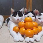 [のせ猫] 3匹でみかんピラミッド