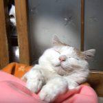 人間のように寝ている猫ちゃんとそれを覗く猫さん