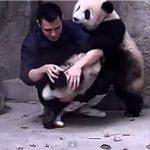 甘えたいパンダ二頭と、薬を飲ませたい飼育員の戦いが可愛すぎる♪