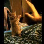 [13秒] ネコパンチに失敗する可愛い子ネコ