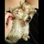 膝の上でスヤスヤ眠る子猫が二匹、可愛さに悶絶♪