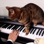 ピアノ演奏をキッチリと邪魔する猫さん(*´▽`*)