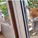 遊びに来たキツネさんと見つめあう猫たち