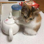 【猫画像】ヒーターを消したら「きゅうす」に移動して暖をとる猫ちゃん