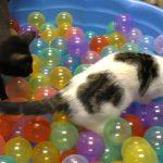 ボールプールで遊ぶ子猫さん達(=^・^=)