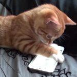 [夢中] iphoneでゲームをするニャンコ