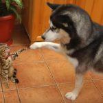 ベンガル猫さんと仲良くなりたいハスキーさん、あの手この手で接近するも警戒される