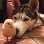 ひよこが大好きなハスキー犬