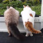 軽トラの荷台から外をのぞく二匹の猫ちゃん、シッポが仲良くゆらゆら♪