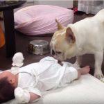 泣いている赤ちゃんを優しくあやして泣き止ませる優しいワンちゃん