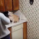 戸棚に近づくとなぜか怒る猫ちゃん(=^・^=)