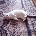 「バキューン!」うたれた猫ちゃんの迫真の演技(*´▽`*)