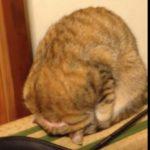見事なゴメン寝を披露する猫ちゃん♪