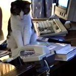 ご主人がいない間に電話がかかってきたので、電話に出てみたネコ