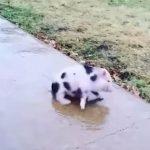 子豚ちゃんのアイススケートが見逃せない♪