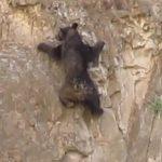 垂直な岩山をのぼる親子クマ
