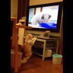 TVのネコをジーッっと見る猫、おじさんに切り替わった途端に興味を失う
