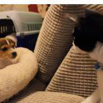 ワンちゃんが二匹やってきた、緊張する先住猫さんですが・・・